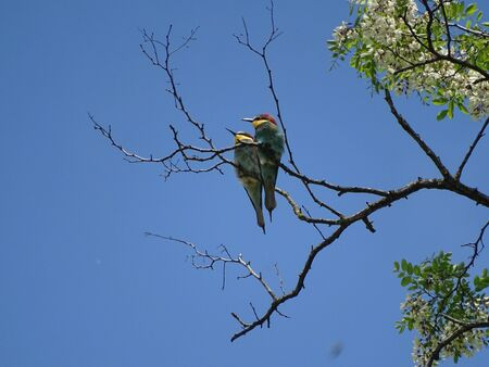 European bee-eater couple spotted on Robinia pseudoacacia branch