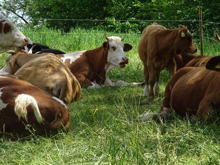 Cows resting on the grass in spring time
