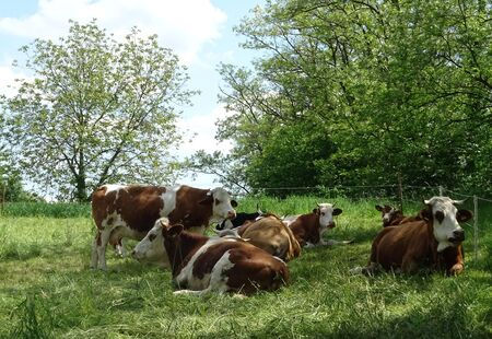 Cow family spotted on a paddock in spring time Stock Photo
