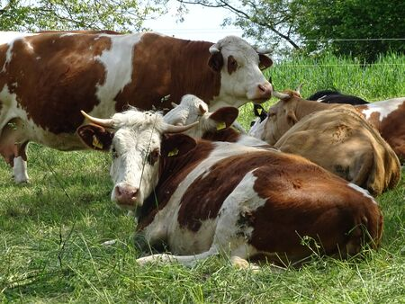 Cow family resting on the grass and posing for the camera