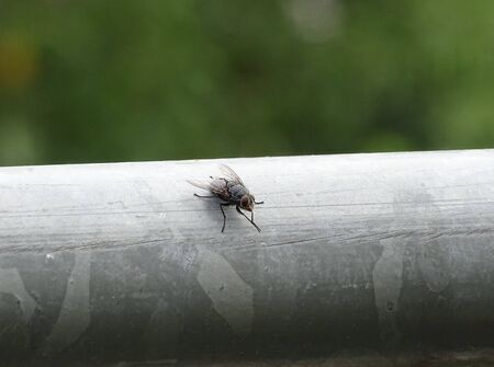 Housefly Musca domestica spotted outside on a handrail
