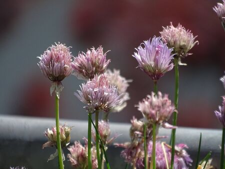 Purple Chives blossoms outside on a sunny day