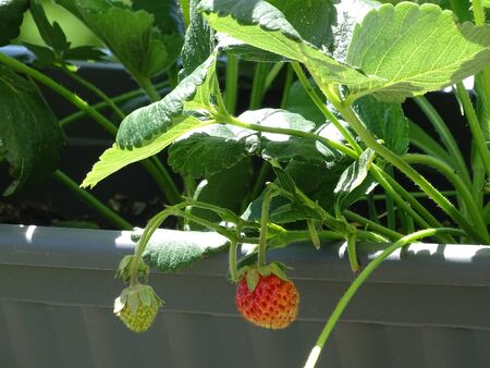 Strawberry plant with unripe fruits in the sunshine Stock Photo
