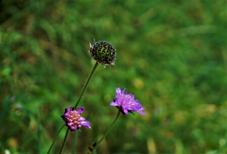 Purple blossoms of Scabiosa plants spotted in the Vosges, France