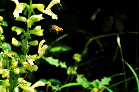 A bee with pollen load flying to a sticky sage blossom