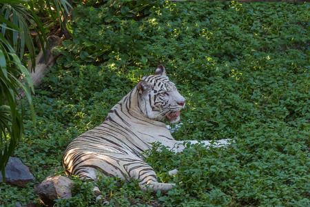 white tigers: White tigers are wild animals that are rarely found in nature.