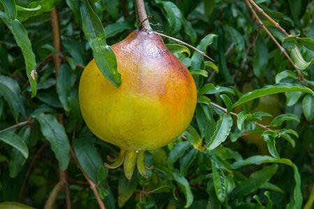 果実は、甘味の高い栄養価を持っています。