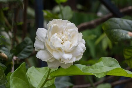 beauties: Jasmine flowers are white and fragrant.