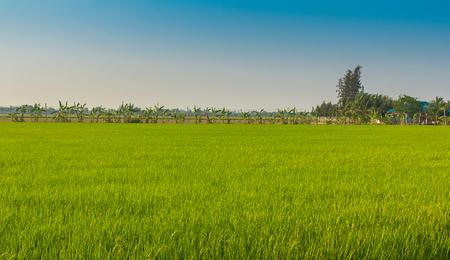 paddies: Green rice paddies in Thailand Stock Photo