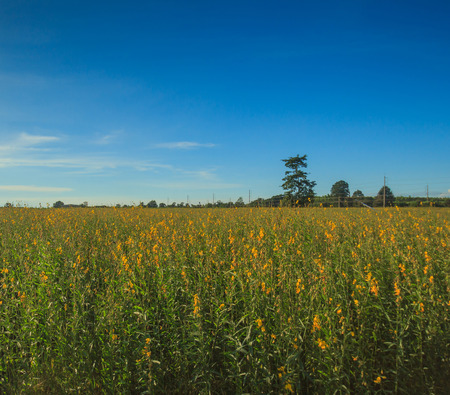 Crotalaria flower fields and blue skies. Stock Photo