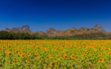 Sunflower field at blue sky