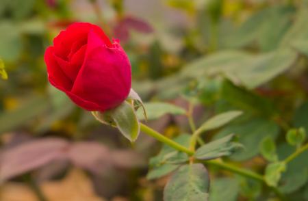 Nahaufnahmen von roten Rosen