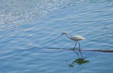 Egret walking on the lake.