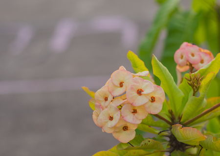 Crown of thorns flower blooming on tree.