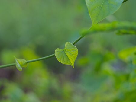 Green Leaf shaped heart in the garden. Banco de Imagens