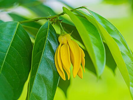 Yellow ylang-ylang flowers and fragrant