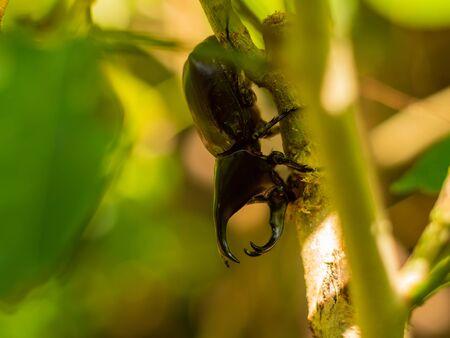 Scarab beetle has beautiful long horns.