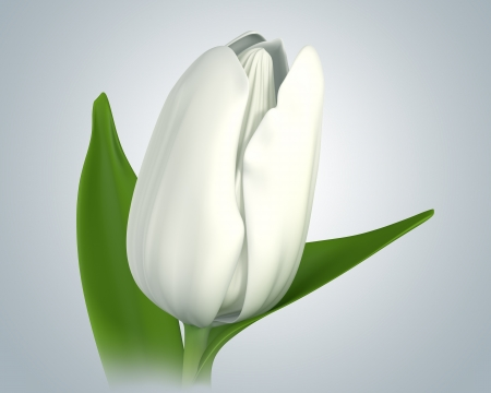 tulips isolated on white background: 3D white tulip flower