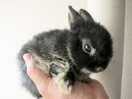 black little netherland dwarf rabbit thailand in hand  Standard-Bild