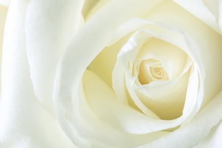 White rose petals, Macro photo