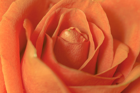 Orange rose petals, Macro photo