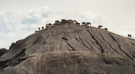 A herd of cows stand on a mountain without grass. Stock Photo