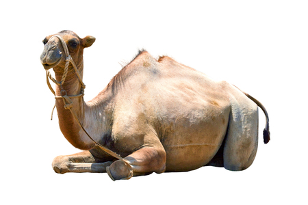 camel bicornic bald cut on white background. Banque d'images