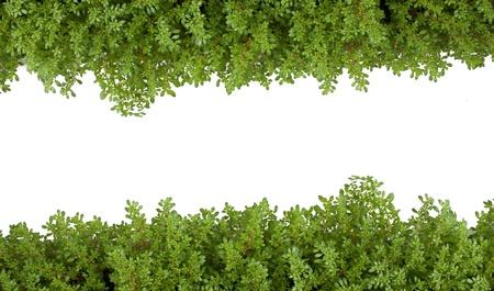 ferns: helecho aislado verde como sobre fondo blanco.