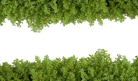 fern: isolated fern green as on white background.