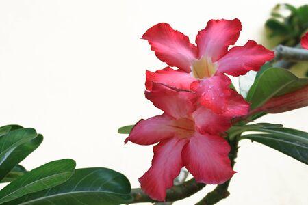 flowers Plumeria red on white background photo