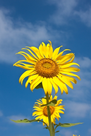 beautiful yellow sunflowers on blue sky photo