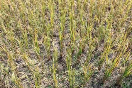 dehydration: Rice crop dehydration drought