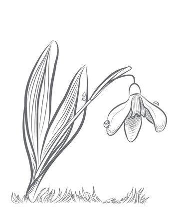 snowdrop: Flower