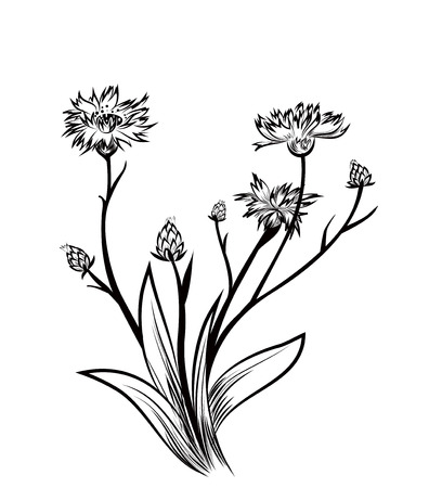 plantas medicinales: Aciano Vectores