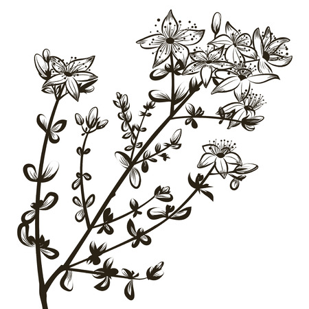 St Johns wort flowers Illustration