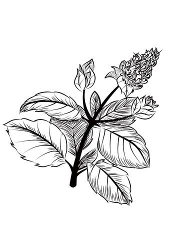 mentha: Peppermint