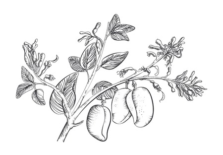 Griffonia Simplicifolia 矢量图像