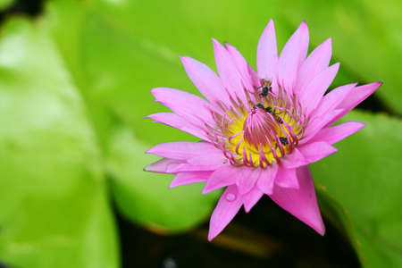 flower,lotus photo
