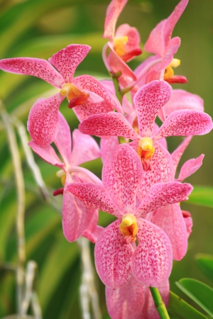 Orchid , pink mokara orchid photo