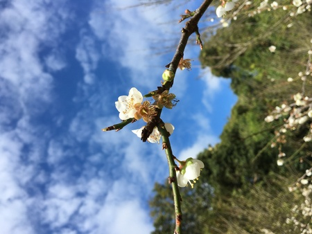 japanese apricot flower: Chinese plum, Japanese apricot flower in Angkhang,Chiangmai,Thailand 09