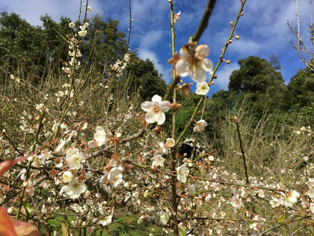 japanese apricot flower: Chinese plum, Japanese apricot flower in Angkhang,Chiangmai,Thailand 08