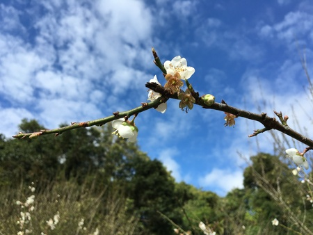 japanese apricot flower: Chinese plum, Japanese apricot flower in Angkhang,Chiangmai,Thailand 07