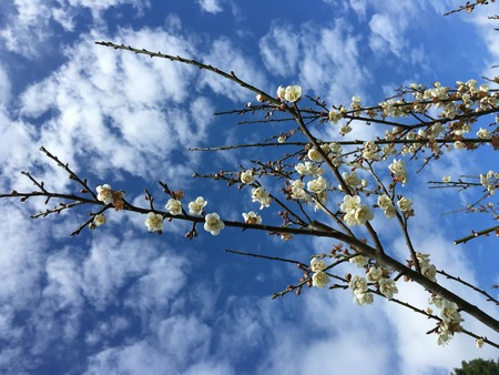 japanese apricot flower: Chinese plum, Japanese apricot flower in Angkhang,Chiangmai,Thailand 05