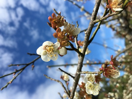 japanese apricot flower: Chinese plum, Japanese apricot flower in Angkhang,Chiangmai,Thailand 04 Stock Photo