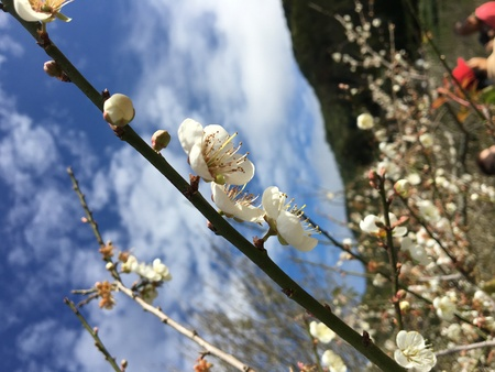 japanese apricot flower: Chinese plum, Japanese apricot flower in Angkhang,Chiangmai,Thailand 03