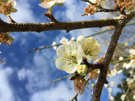 japanese apricot flower: Chinese plum, Japanese apricot flower in Angkhang,Chiangmai,Thailand 02