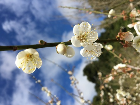japanese apricot flower: Chinese plum, Japanese apricot flower in Angkhang,Chiangmai,Thailand