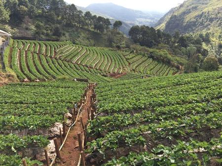 feild: 02CHIANG MAI,THAILAND  strawberry plantation feild,angkhang mountain Stock Photo