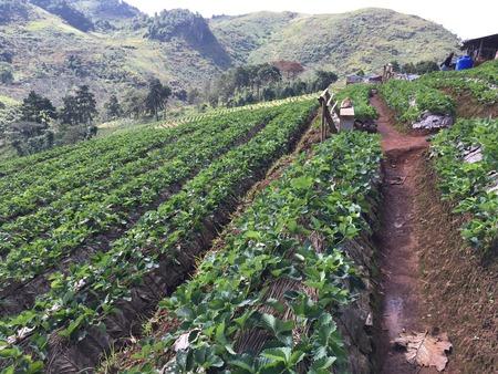 feild: strawberry plantation feild,angkhang mountain