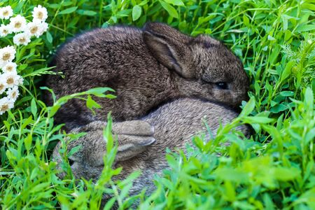 two little fluffy bunny in the green grass. Young rabbits in a meadow